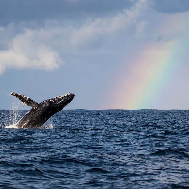 Humpback whales and Rainbow #seayoutomorrow #ทะเลวันพรุ่งนี้อยู่ในมือคุณ