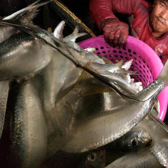 ในช่วงยามค่ำคืน ชาวประมงพื้นบ้าน อ่าวคั่นกระได จังหวัดประจวบคีรีขันธ์ กำลังตักปลาหลังเขียวกว่า 400 กิโลกรัมที่เพิ่งถูกจับได้ใส่ลังพลาสติค ก่อนที่จะถูกส่งไปแปรรูปในลำดับต่อไป... #SeaYouTomorrow #ทะเลในวันพรุ่งนี้อยู่ในมือคุณ